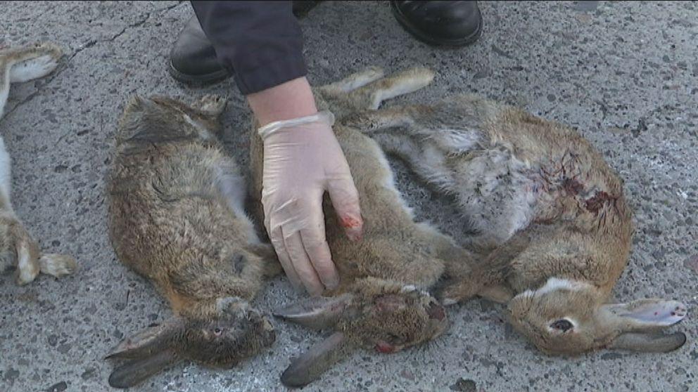 Kaninpesten härjar