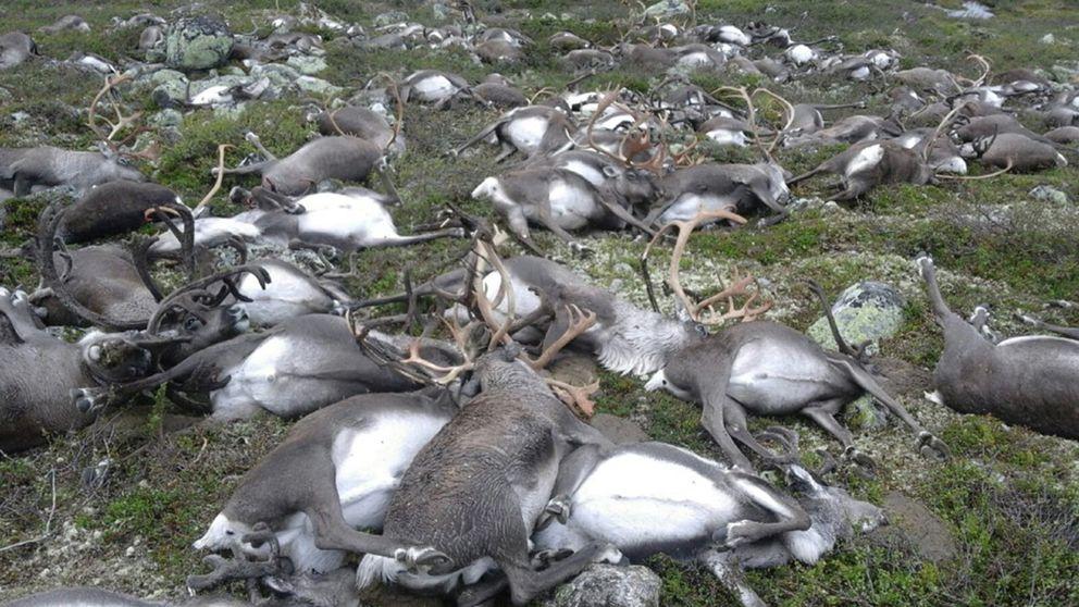 Sammanlagt dog 322 renar.