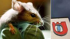 Djurförsök, mus, Örebro universitet