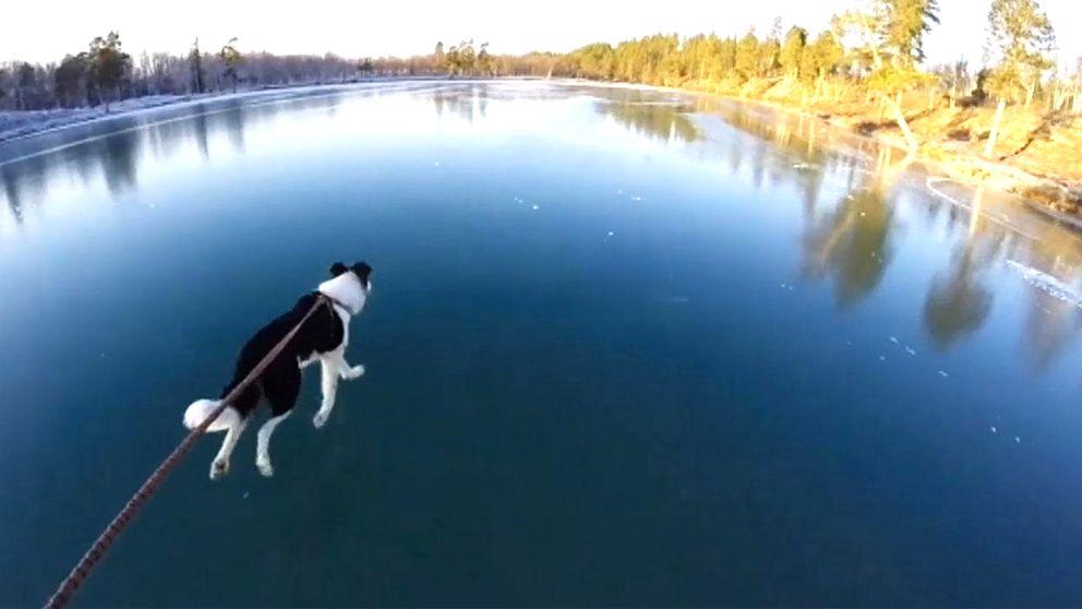 hund springer på blankis på sjö
