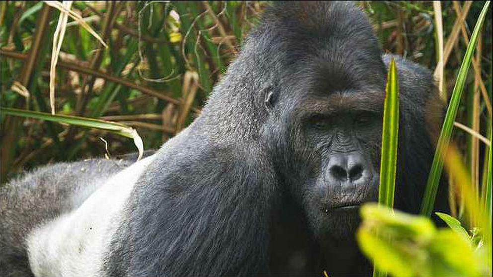 En närbild på en gorilla i djungeln.