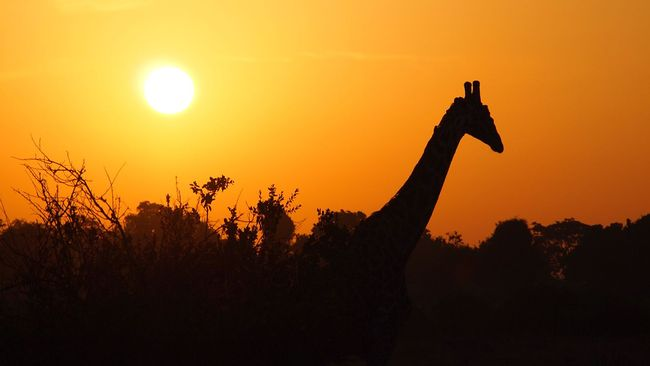 Giraff i solnedgång.