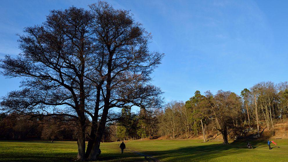 Träd renar städer SVT Nyheter