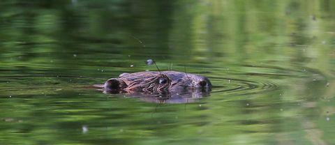 bäver simmar i vatten