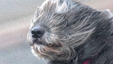 Hund, blåst, vind