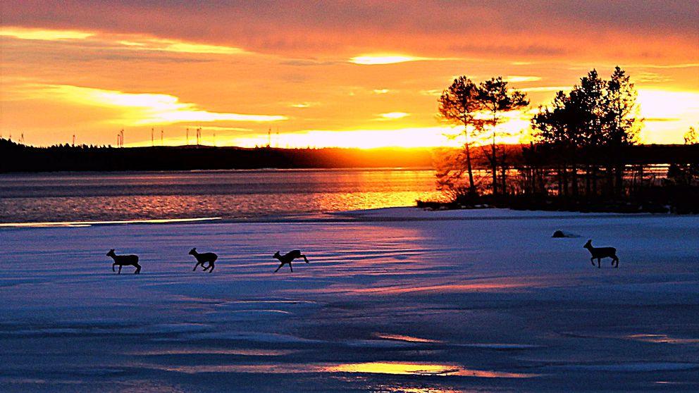 fyra rådjur skuttar över isen vid udde och öppet vatten