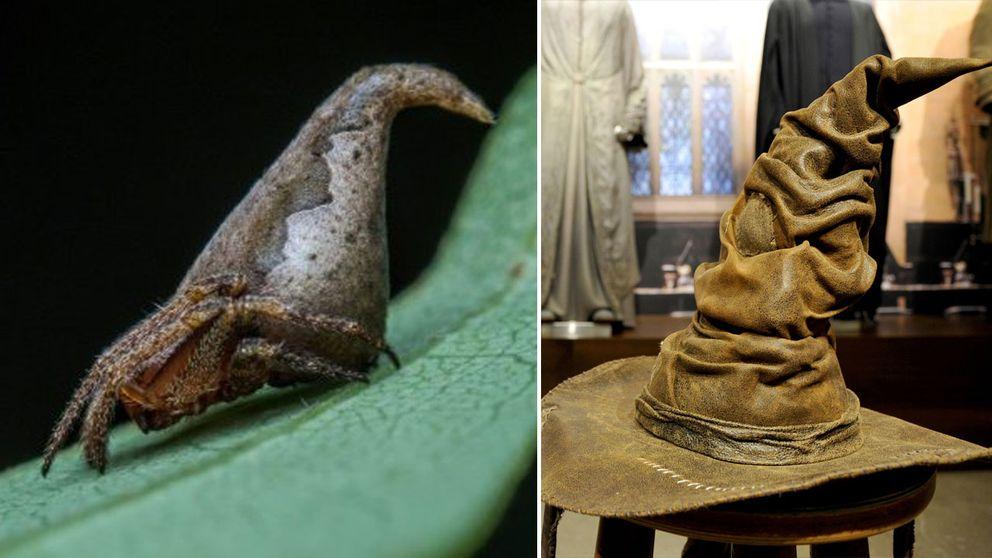 Eriovixia Gryffindori och dess magiska motsvarighet, Godric Griffindors hatt.