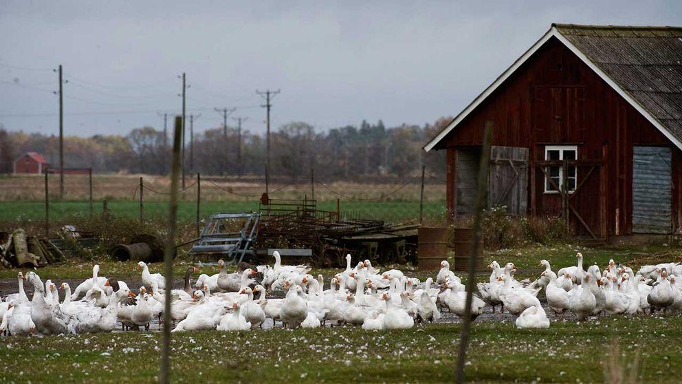fågelinfluensa