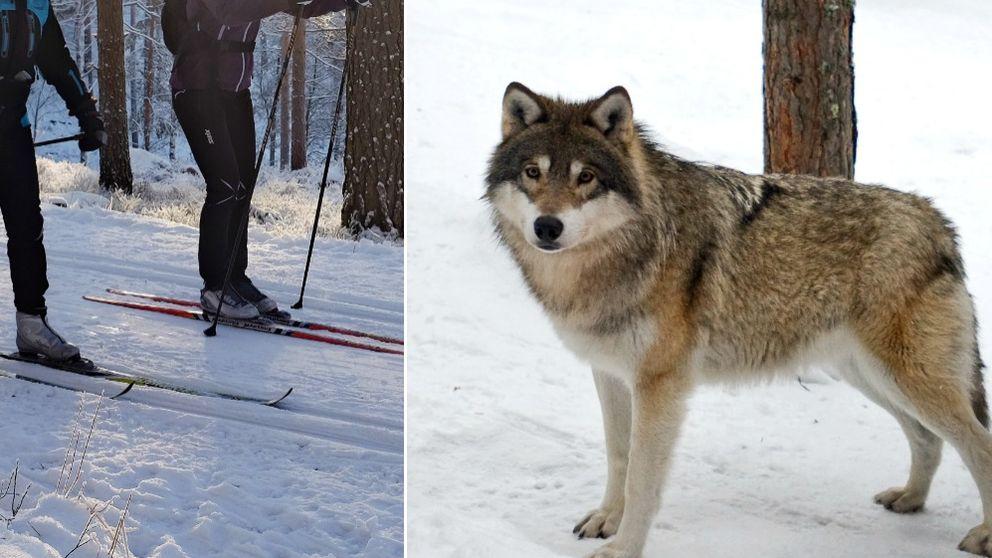 skidor, varg