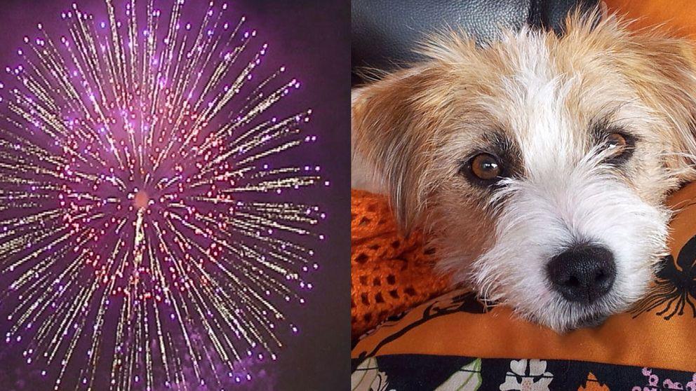 Hund och fyrverkeri