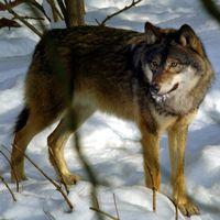 En bild på en varg som står i ett snölandskap.