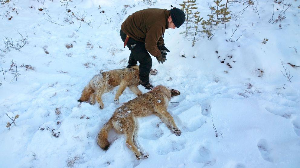Ytterligare två vargar sköts under lördagen i årets licensjakt på varg.