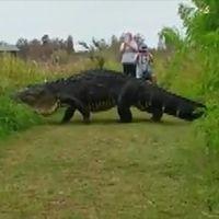 Jättelik alligator.