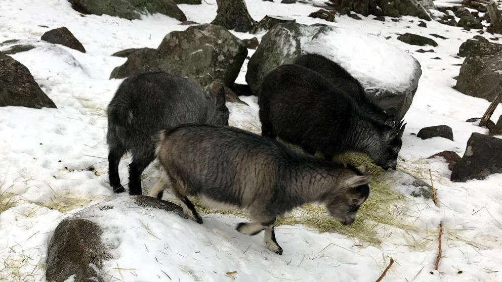 Getter i Furuviks djurpark