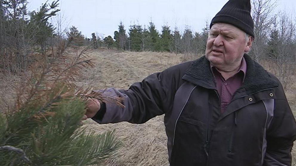 Sten-Ivan Danielsson Diplodia Pinea angripen tall