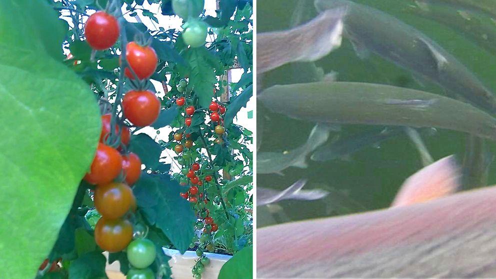 växande tomater, och fisk i vatten