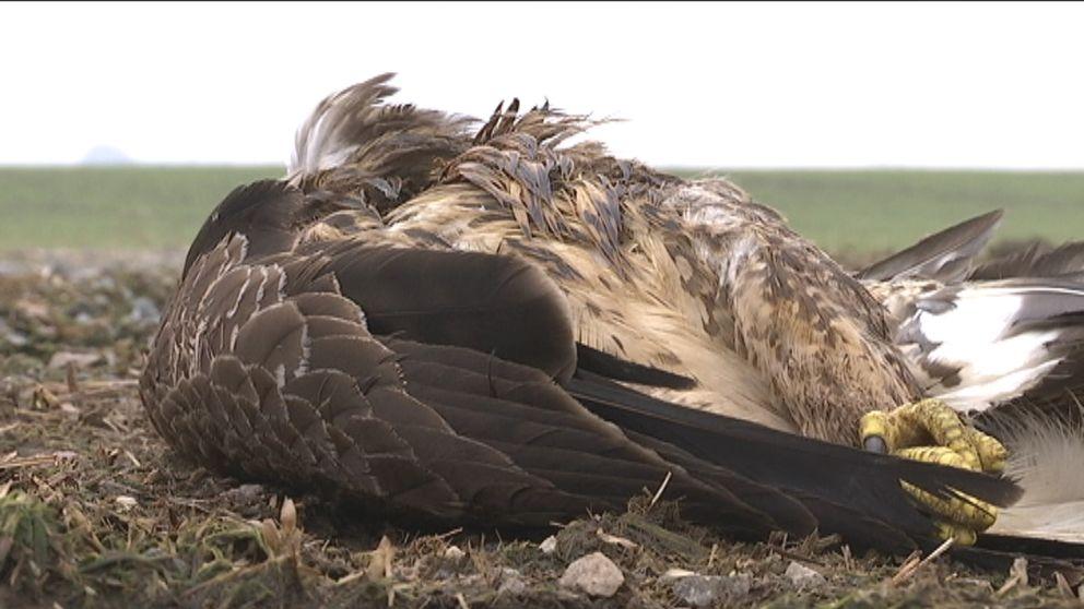 Död rovfåglar