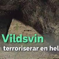 Boende i samhället utanför Värnamo har bekymmer med vildsvin i trädgården.