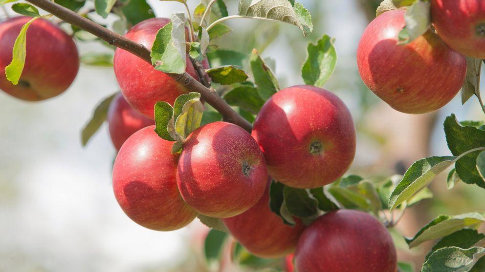Äppelträd