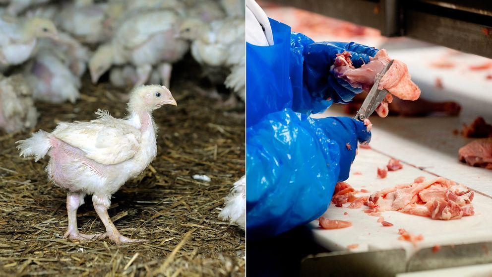 Kycklinguppfödning, kycklingslakteri