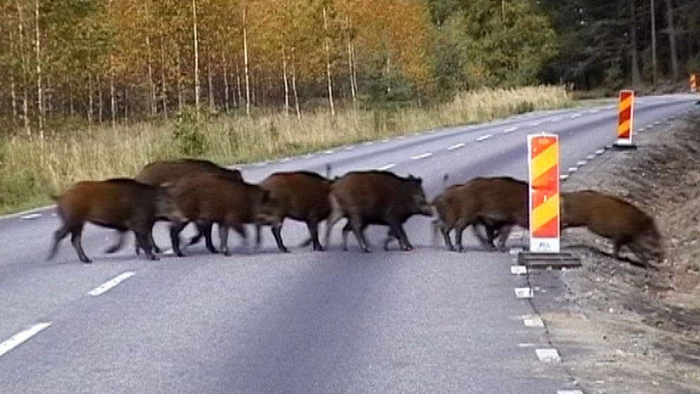 vildsvin vilolyckor ökar Skåne