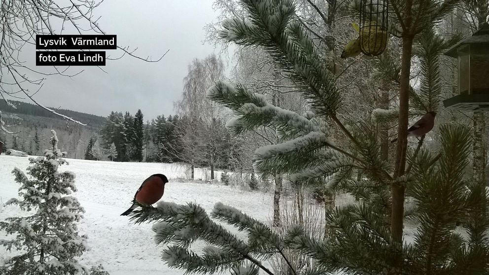 Igår helt snöfritt! Och idag....vårdagjämning....kom snön tillbaka med full kraft. Och med den även vår vackra domherre! 20 mars i Sätergården, Lysvik