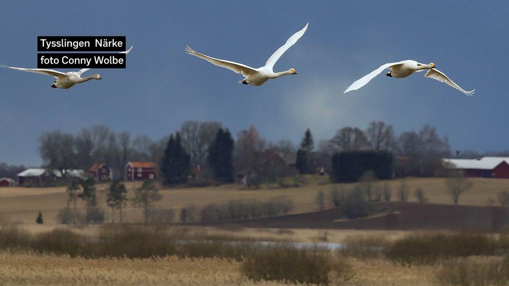 En lite kulen dag vid Tysslingen i lördags, men ett mjukt härligt ljus och många svanar