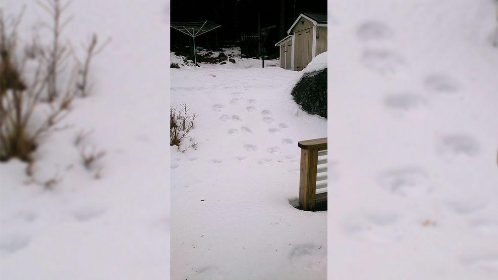 stora spår i snön i trädgård