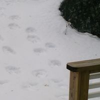stora spår i snön vid altanräcke, infälld bild på björn