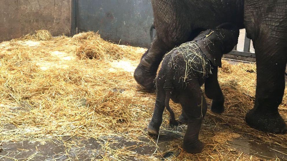 Den nyfödda elefantkalven på Borås djurpark har haft problem med att dia sin mamma Panzi under de första dagarna.