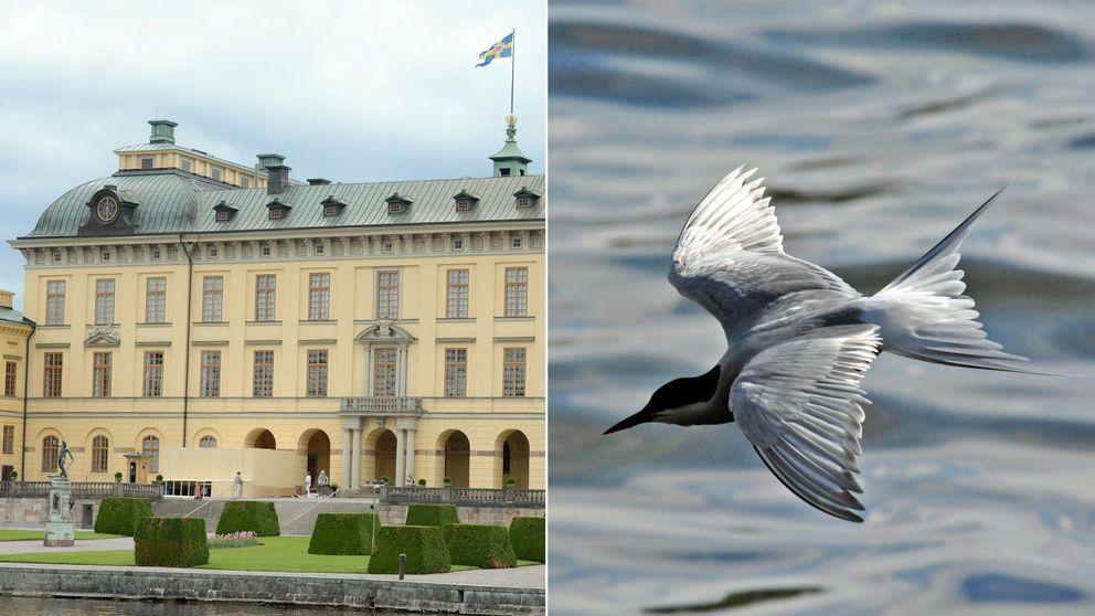 Aggressiva fisktärnor utgör ett arbetsmiljöproblem för högvakten vid Drottningholms slott.