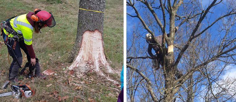 Träden skadas medvetet – för att rädda insekterna