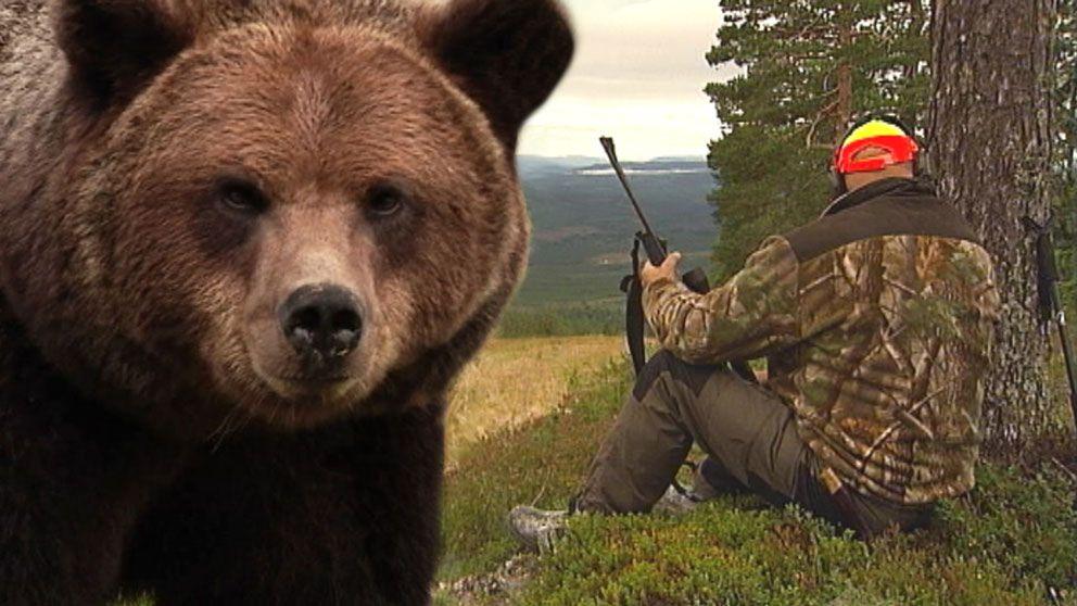 björn, en sittande jägare