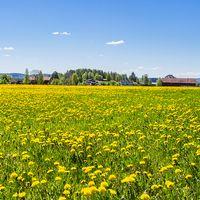 Många gula solar mot en klarblå majhimmel. Sunne, Värmland 24/5 2017