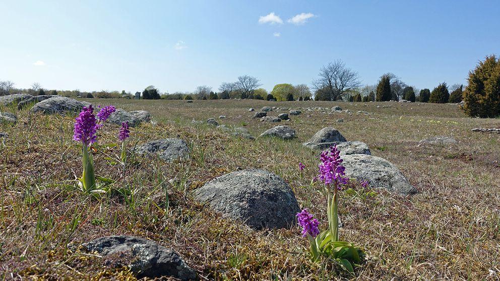 Våren tog snabbt över igen efter bakslaget med snö på Öland, och den 12 maj blommande Sankt Pers nycklar på Karums alvar.