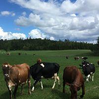 Hillevi Nyman driver mjölkgården Åneholm i Kil och gläds över att mjölkpriset ökar – men framtiden är oviss.