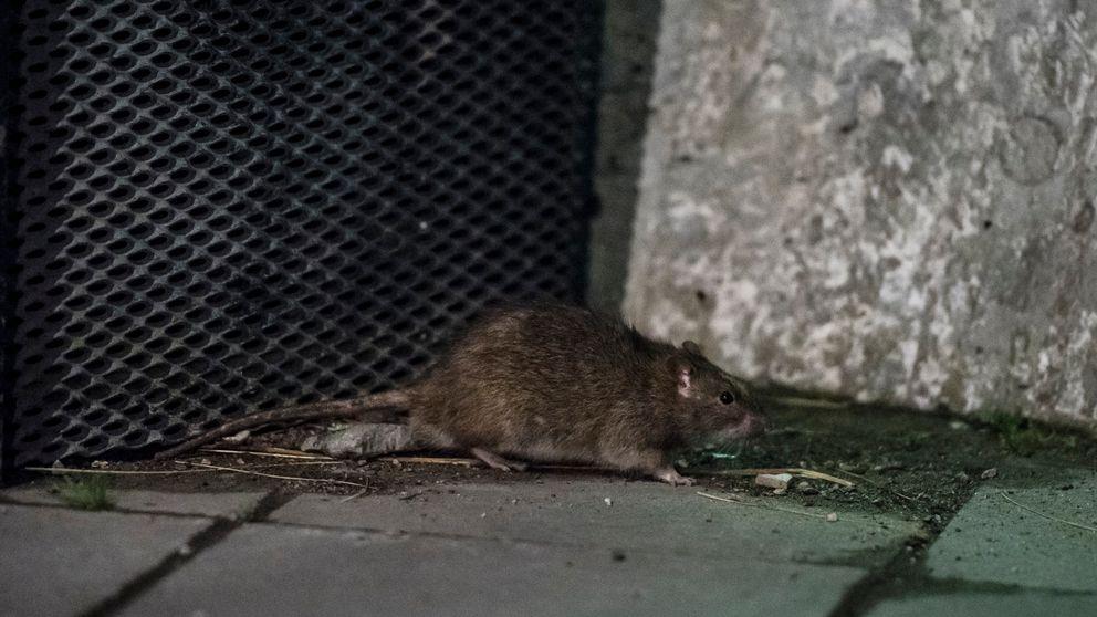 Råtta vid papperskorg.
