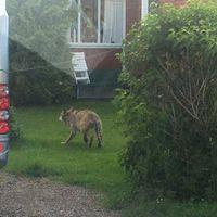 en ung kille, och en varg som springer iväg i trädgård