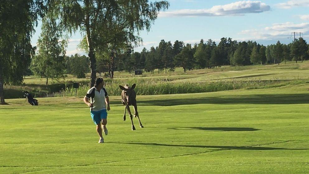 Här sätter älgkalven av efter Christer Sjögren på golfbanan. Men slutet gott, allting gott: ingen skadades vid händelsen.