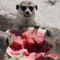 """Surikater på """"Bioparco zoo"""" mumsar på frusen vattenmelon i värmeböljan som råder i Rom, Italien. 27 juni"""