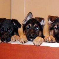Vill du bli fodervärd åt någon av de här sötnosarna? Hör av dig till Försvarsmaktens hundavelsstation i Sollefteå.