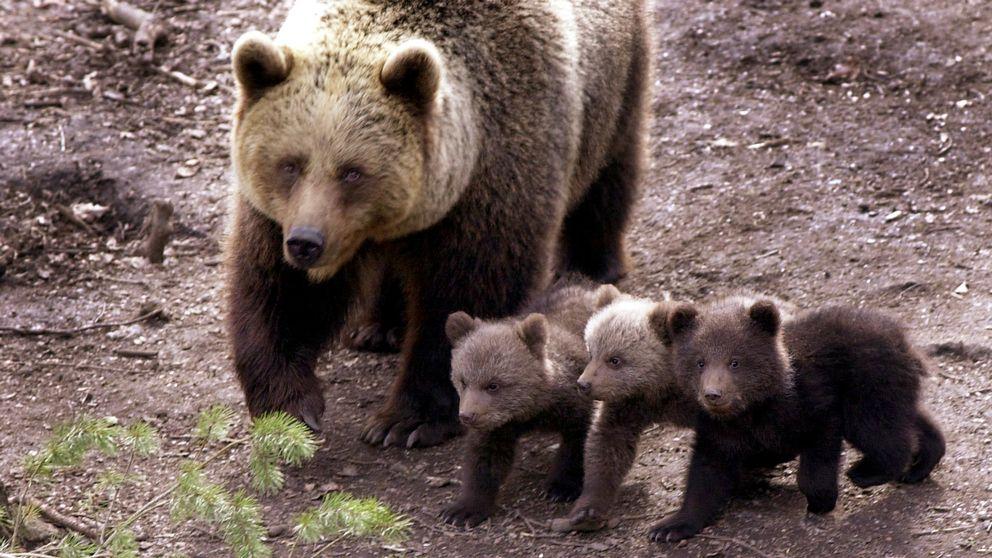 Björnmamma med sina ungar i Orsa björnpark.