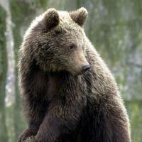 En brunbjörn på Skansen i Stockholm