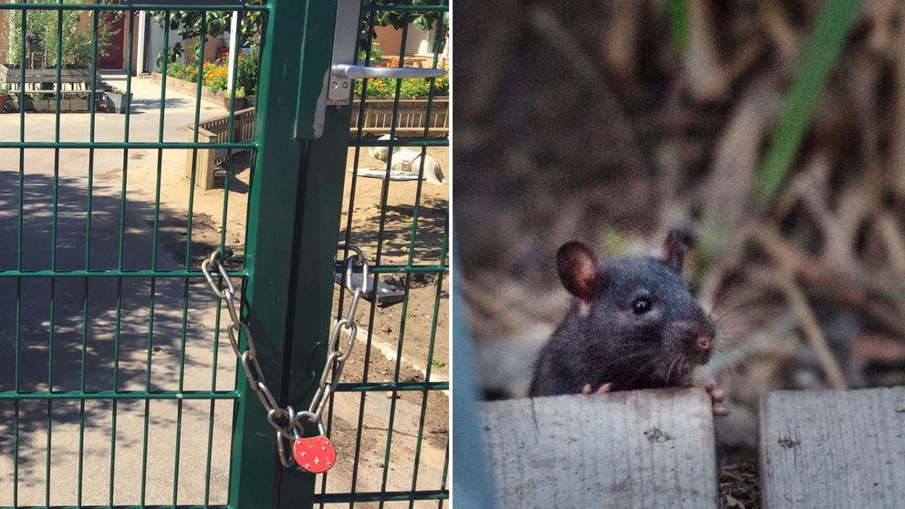 Hästhagens förskola är tillfälligt stängd efter att råttor upptäckts på gården.