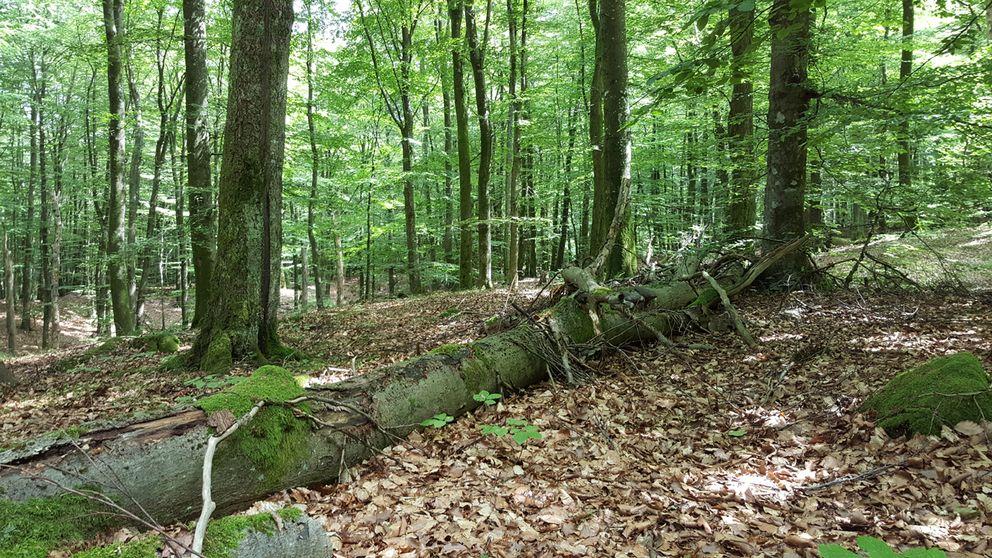 Död ved är viktig för den biologiska mångfalden i en skog.