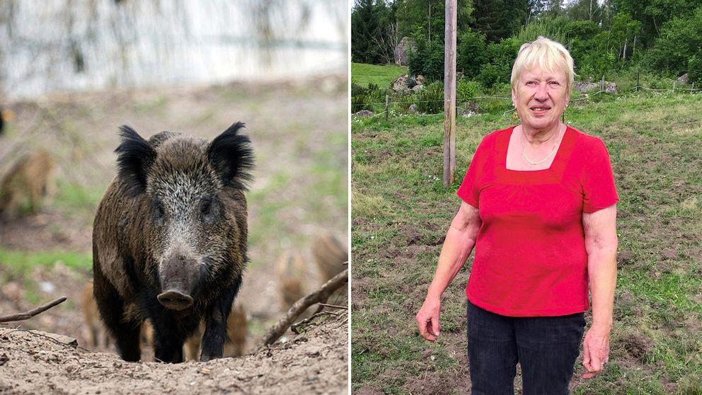 Kerstin Ivarsson i Bökemåla är så trött på vildsvinen så att hon överväger att flytta från föräldrargården.