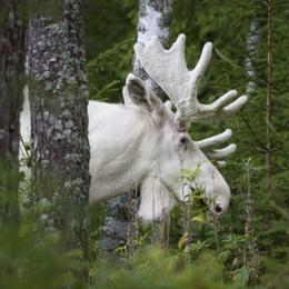 """""""I torsdags jagade 20 personer älgen som om det vore en hemvärnsövning. Jag blev helt häpen"""", berättar naturfotografen Ingemar Pettersson."""