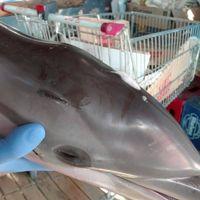 Den lokala djurrättsorganisationen Equinac hittade den döda delfinungen.