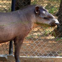 Två tapirer spårlöst försvunna från zoo i Venezuela