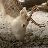 En ren som äter foder från marken